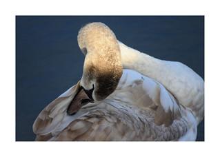 Swan, Waterdonken