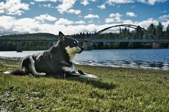 Chabo XLII (johan.bergenstrahle) Tags: 2018 älv animal august augusti bridge bro chabo djur dog finepicsse hund landscape landskap morgon morning natur river sommar summer sverige sweden umeälv umeriver vännäs marahällabron