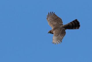 juv. sparrowhawk - accipiter nisus