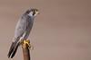 Faucon pélerin - Falco peregrinus - Peregrine falcon (patricia.hoedts) Tags: espagne catalogne catalunya deltadelebre deltadelebro fauconpélerin falcoperegrinus peregrinefalcon bird ocell canon canon6d sigma sigma150600contemporary