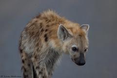 The Juvenile (leendert3) Tags: leonmolenaar southafrica nature krugernationalpark wildlife mammals spottedhyena