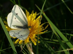 Small White (ukstormchaser (A.k.a The Bug Whisperer)) Tags: small white butterfly butterflies fly flies animal animals wildlife milton keynes buckinghamshire dandelion feeding