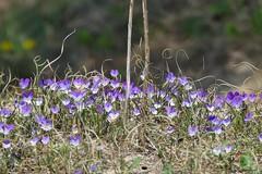 Dune pansy (jehazet) Tags: duinviooltje bloemen flowers dunepansy violatricolorsubspcurtisii jehazet