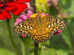 Variegated Fritillary (Euptoieta claudia) (AllHarts) Tags: variegatedfritillaryeuptoietaclaudia backyardbutterflies mtpleasantms naturesspirit thesunshinegroup