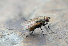 Fly on the wall (conall..) Tags: closeup raynox dcr250 macro fly day flyday friday hfdf diptera patio wall county down tullynacree nw551041 annacloy garden