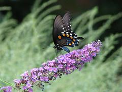 Pipvine Swallowtail (AmyWoodward) Tags: pipevineswallowtail swallowtail bu
