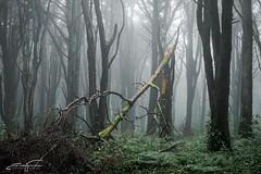 Broken tree (jorgeverdasca) Tags: vloggingsession youtube vlogging summer summerfog 5dmk4 canonphotos canonphotography gothic goth trees fog foggy mist woodland floresta forest sintra portugal