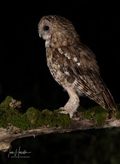 Tawny Owl (Ian howells wildlife photography) Tags: ianhowells ianhowellswildlifephotography nature naturephotography nationalgeographic night unitedkingdom canon canonuk flash wildlife wildlifephotography wales wild wildbirds wildbird hide tawnyowl tawny owl