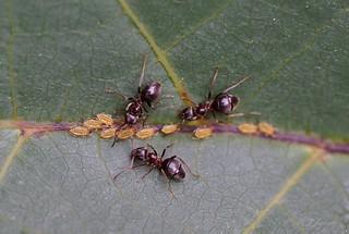 Ameisen  / ant
