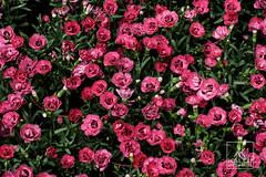 DSC00467_DxO (Kallu Medeiros) Tags: kallumedeiros purmerend nex5 autochinon55mm114 5514 auto chinon bloemen flowers flôres flor holland noordholland holanda nederland sony