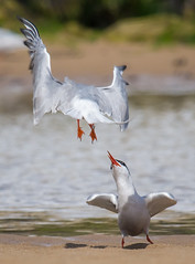 """""""I told you....I'M NOT IN THE MOOD!!"""" (ianrobertcole1971) Tags: common terns mating fight bird seabird beach rejection no nikon d7200"""