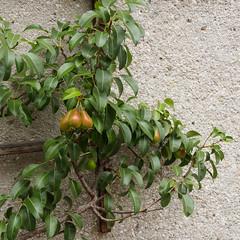 Around St Wolfgang-E7060144 (tony.rummery) Tags: austria em10 mft microfourthirds omd olympus pears plant wall sanktwolfgangimsalzkammergut oberösterreich at