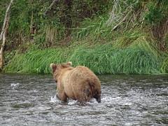 DSC07547 (jrucker94) Tags: alaska katmai katmainationalpark nationalpark bear bears grizzly grizzlybear brooksriver nature outdoors