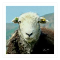 Portrait of a Herdwick Ewe (Jan 130) Tags: herdwicksheep jan130 portrait digitalpainting information oldnorse herdvyck ewe lakedistrict cumbria englanduk ngc npc coth5