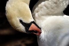 """""""Preening"""" (42jph) Tags: nikon d7200 uk england stratforduponavon stratford upon avon warwickshire mute swan preening bird wildlife closeup close up"""