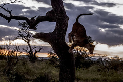 Young lion jumping from tree - Zimanga - South-Africa (wietsej) Tags: young lion climbing from tree zimanga southafrica sony rx10iv rx10m4 night nature animal rx10 iv