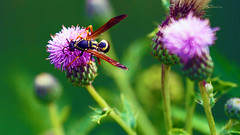 Northern Paper Wasp (Polistes Fuscatus), Hartley Nature Center - Duluth MN USA, 07/25/18 (TonyM1956) Tags: elements hartleynaturecenter duluth stlouiscounty minnesota tonymitchell nature macrounlimited sonyalphadslr northernpaperwasp polistesfuscatus sonyphotographing