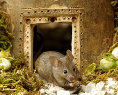 Mouse  at door  (2) (Simon Dell Photography) Tags: house mouse log pile door coconut mossy moss logs wood stack garden wild wildlife cute funny detail close up awesome viral ears eyes george mini mildred sheffield s12 hackenthorpe decorated summer images mice two mouses animals rodents