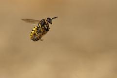Beewolf (Daniel Trim) Tags: beewolf bee wolf flying with prey cargo flight philanthus aculeata crabronidae european hymenoptera triangulum wasp arthropod arthropoda beeeating macro insect