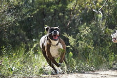 Happy Face (Painful, slow internet:() Tags: boxer dog ddogchal