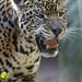 Jaguar looking not amused