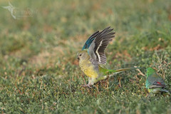 Red-rumped Parrot (VS Images) Tags: redrumpedparrot psephotushaematonotus psittacidae parrots birds bird birding bif birdsinflight flight feathers wildlife wildlifephotography animals avian australia australianbirds australianwildlife nsw nature ngc naturephotography vsimages vassmilevski olympus olympusau getolympus m43 omd female male