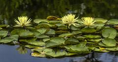 Yellow Water Lilies IMG_0079 (918monty) Tags: lilies waterlilies yellowwaterlilies ponds lilyponds lilypads dallasarboretumandbotanicalgarden waterplants