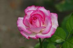 Panasonic FZ1000, Roses, Botanical Gardens, Montréal, 21 July 2018 (4) (proacguy1) Tags: panasonicfz1000 roses botanicalgardens montréal 21july20183