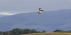Curlew (Paul..A) Tags: curlew wadingbird wader birdinflight scotland