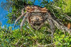 Broad-headed bark spider (Caerostris extrusa) - DSC_7412 (nickybay) Tags: macro madagascar andasibe voimma broadheaded bark spider caerostris araneidae orb weaver cctv fisheye wideangle extrusa africa