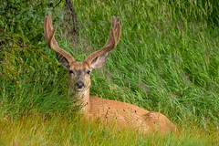 Beautiful Buck in Velvet (Amy Hudechek Photography) Tags: buck mule deer nature wildlife antlers velvet colorado coloradowildlife amyhudechek nikond500 nikon200500f56 summer mountains