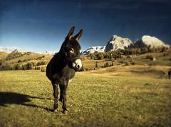 PA241245BWEditedvintage (kekyrex) Tags: dolomites dolomiti italy italia altoadige mountains montagne bz