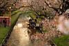 2018さくら 17 (sunuq) Tags: kawagoe 2018年 japan canon eos 5dsr ぼけ bokeh 桜 新河岸川 新河岸川桜まつり 和舟 舟 川越 grass tree