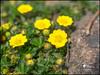Potentilla pusilla (Enrico Moser) Tags: trentino primavera printemps spring flora flowers fiori flores macro