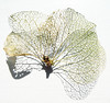 (#avril#) Tags: petal hydrangea withered graphic macro