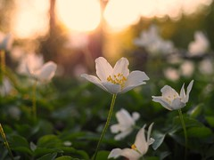 L E T  T H E  S U N  S H I N E (Vivi Black) Tags: flower nature blure bokeh beauty light outdoor outside goldenhour sunlight sunset abril april spring