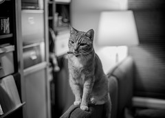 Where's My Dinner. (Eddy Summers) Tags: cat catsofflickr meow moggy monochrome sofa livingroom hungry dinnertime nomnom patience pentaxk1 k1captures pentaxaustralia fa50mm14 wideopen topaz manualfocus