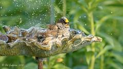Golden-crowned Sparrow (Bob Gunderson) Tags: birds california fortmason goldencrownedsparrow northerncalifornia sanfrancisco sparrows zonotrichiaatricapilla