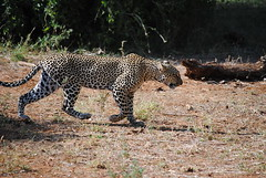 Африканский леопард, Panthera pardus pardus, African Leopard (Oleg Nomad) Tags: африканскийлеопард pantheraparduspardus africanleopard африка кения самбуру сафари животные природа africa kenya samburu animals nature travel