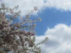 Blossoms With Sky (edenpictures) Tags: unionsquarepark spring flowers blossoms floweringtrees newyorkcity manhattan nyc sky clouds