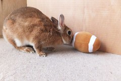 Ichigo san 1111 (Ichigo Miyama) Tags: rabbit bunny cute netherlanddwarf brown ichigo ネザーランドドワーフ ペット うさぎ いちご ぬいぐるみ ぬいどりrabbit ぬいどりいちごさん。うさぎ san