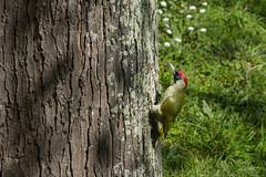 Pic vert (JeanJoachim) Tags: picvert picusviridis europeangreenwoodpecker piciformes picidae oiseau bird vogel aves uccello fågel fugl pássaro バード lintu птица ptak grünspecht pentaxk5ii smcpentaxda300mmf4edifsdm