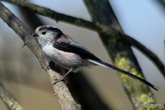 Long-Tailed-Tit (Diko G.W.) Tags: longtailedtit nafferton eastyorkshire nikond3300