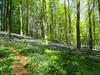 hallerbos (francesca.clemente) Tags: belgium belgie belgique hallerbos halle bluebells hyacinthus bloom blue spring forest hyacinten walk hike wandelen lente