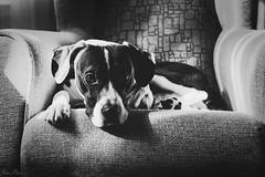 Mi pequeño (mariusbucsa) Tags: perrito blancoynegro bw retrato sillón casa interior calatayud aragón es españa nikkor35mm18g nikkor nikon nikond5600