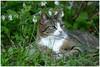 Poeka ... (Jan Gee) Tags: poeka tabby grey striped garden tuin garten jardin chat poes kat katze gato gatto green foliage