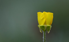 Early Buttercup (mak_9000) Tags: buttercup droplet flower nature