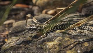 Common Lizard - (Zootoca vivipara) 'Z' for zoom