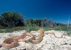 San Joaquin Coachwhip (Masticophis flagellum ruddocki) (David A Jahn) Tags: san joaquin coachwhip snake masticophis coluber flagellum ruddocki california