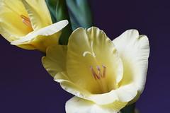 DSC_0642 Gladioli (PeaTJay) Tags: nikond750 sigma reading lowerearley berkshire macro micro closeups gardens indoors nature flora fauna plants flowers gladioli